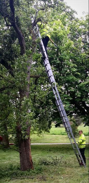 tree surgeon using extension ladder